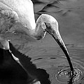 White Ibis - Bw by Christopher Holmes