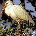 White Ibis Eudocimus Albus by Millard H. Sharp