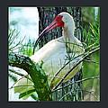 White Ibis by Jody Lane