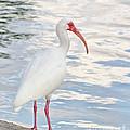 White Ibis by Les Palenik