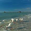White Ibis Near Historic Naples Pier by Juergen Roth