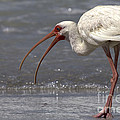 White Ibis On The Beach by Meg Rousher