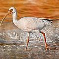 White Ibis Stroll by Betsy Knapp