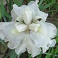 White Iris by Greg Boutz