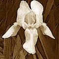 White Iris by Jim Smith