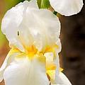 White Iris by Janice Byer