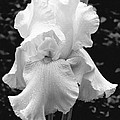White Iris by Jim Smith