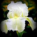 White Iris by Kay Novy