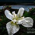 White Iris by Robert Bales
