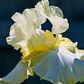 White Iris With Yellow by Omaste Witkowski