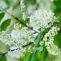 White Lilac by Nailia Schwarz