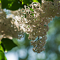 White Lilacs In The Shade - Featured 2 by Alexander Senin