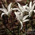 White Lilies by Scott Hervieux