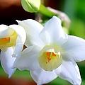 White Lilly by Debra Forand