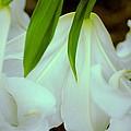 White Lily Bows  by Beth Akerman