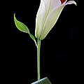 White Lily Bud by Kim Aston