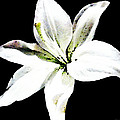 White Lily - Elegant Black And White Floral Art By Sharon Cummings by Sharon Cummings