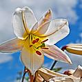 White Lily Flower Against Blue Sky Art Prints by Valerie Garner