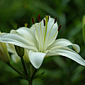 White Lily by Sandy Keeton