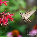 White-lined Sphinx Humming Bird Moth by Joy Bradley