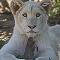 White Lion Cub  by Saija  Lehtonen