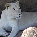 White Lion Looking Proud by Lingfai Leung