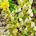 White Locoweed On Highline Trail In Glacier National Park-montana by Ruth Hager