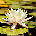 White Lotus Flower In Lily Pond by Susan Schmitz
