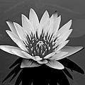 White Lotus Flower by Kristina Deane