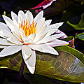 White Lotus Flower by Marcia Colelli