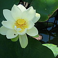 White Lotus I by Christiane Schulze Art And Photography