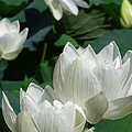 White Lotus by Larry Knipfing