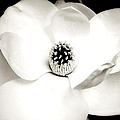 White Magnolia by Angie Mahoney