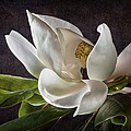 White Magnolia by Endre Balogh