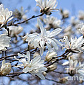 White Magnolia Magnificence by Barbara McMahon
