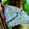 White Morpho Butterfly by AnnaJo Vahle