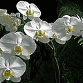 White Moth Orchid Phalaenopsis And Ferns by Mother Nature