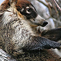 White-nosed Coati 3 by Al Andersen