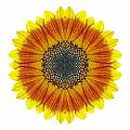 Orange And Yellow Sunflower I Flower Mandala White by David J Bookbinder