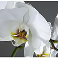 White Orchid 1b by Mauro Celotti