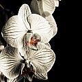 White Orchid by Adam Klimovic