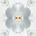 White Orchid Flower by Silvia Otte