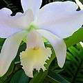 White Orchid by James Temple