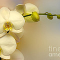 White Orchid by Lutz Baar