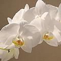 White Orchid Photograph by Georgeta Blanaru