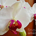 White Orchid by Ramona Matei