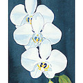 White Orchids by C Sitton