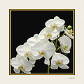 White Orchids II by Tom Prendergast