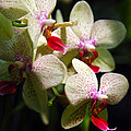 White Orchids by Ingrid Smith-Johnsen