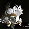 White Orchids by Jeremy Hayden